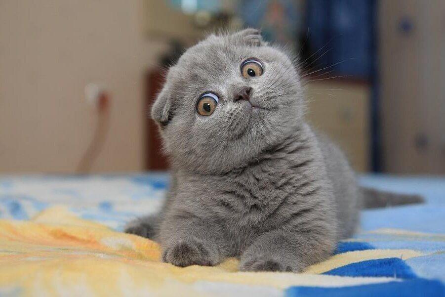 болезни вислоухих кошек