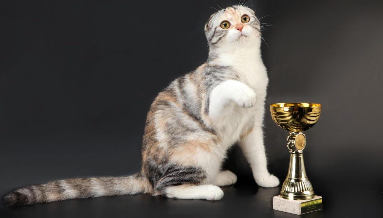 племенной вислоухий кот