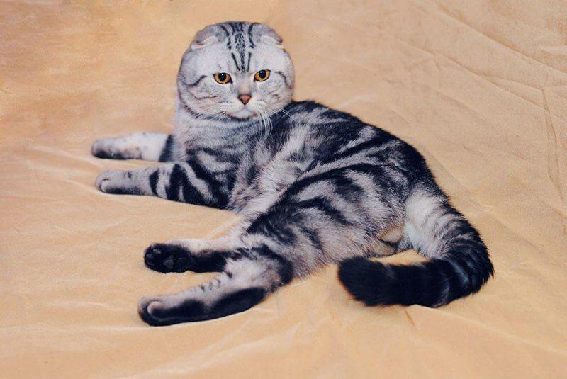 купить вислоухого кота