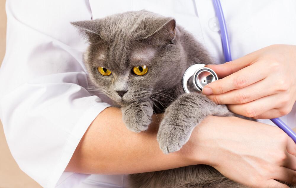 заболевания британских котов