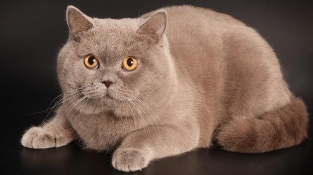Белый окрас британской кошки: история выведения, стандарты и особенности, фото белых британцев