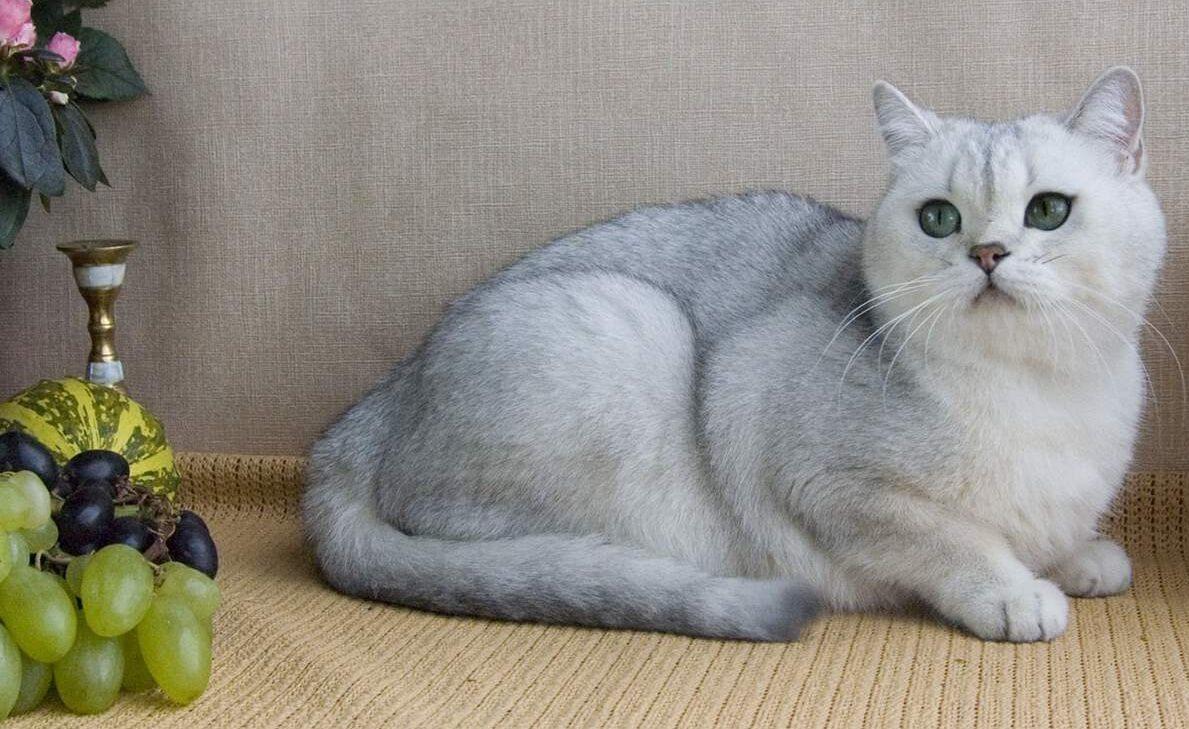 течка у британской кошки