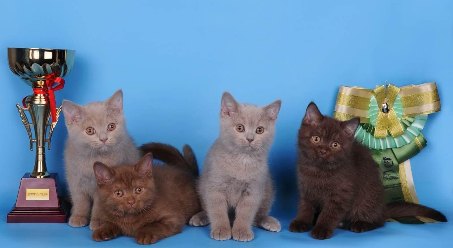 стандарты окраса британских котов