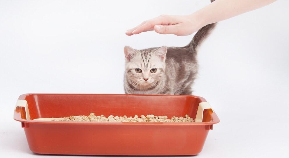 как приучить британскую кошку к лотку
