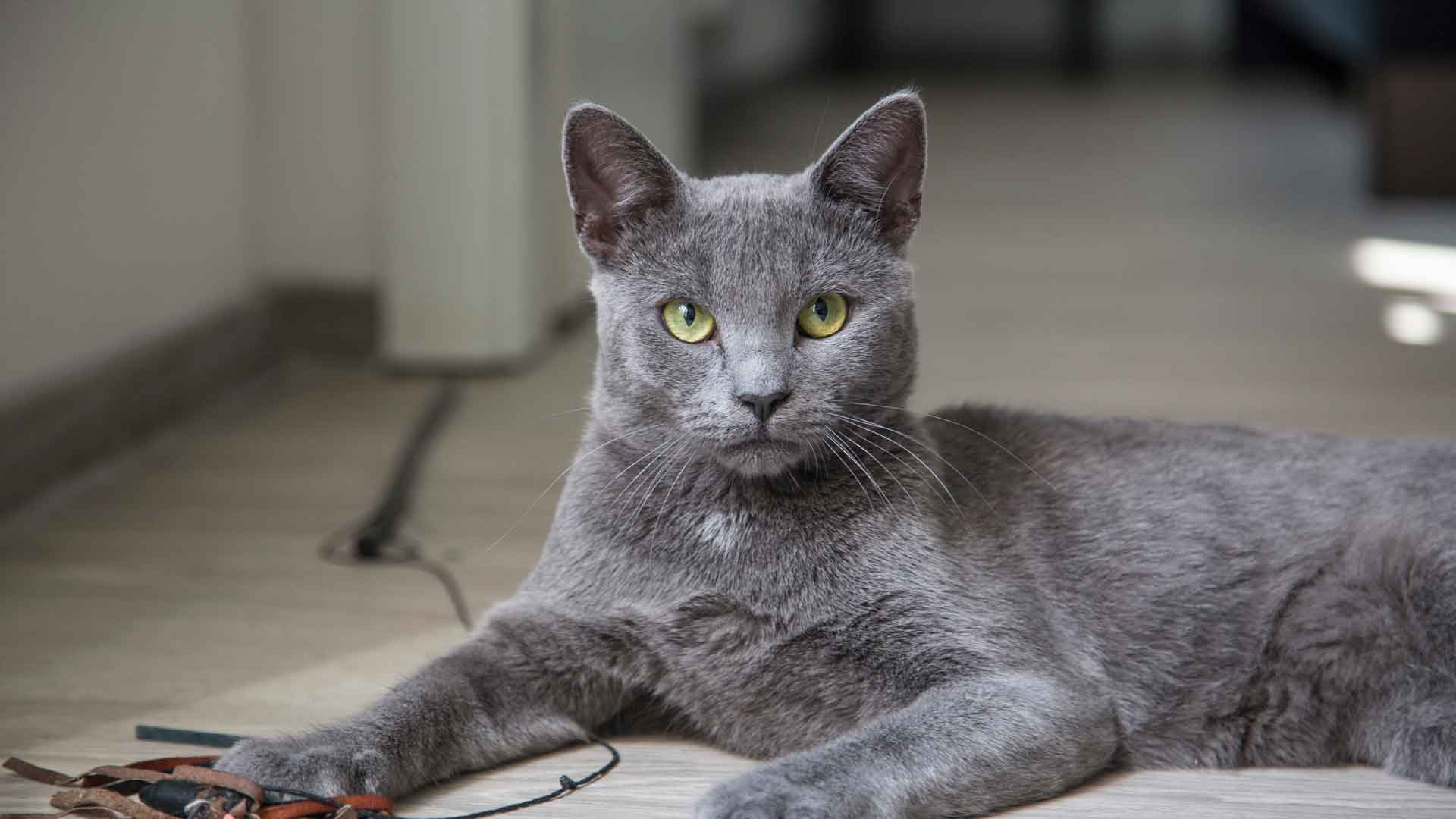 Кошки породы русское характер