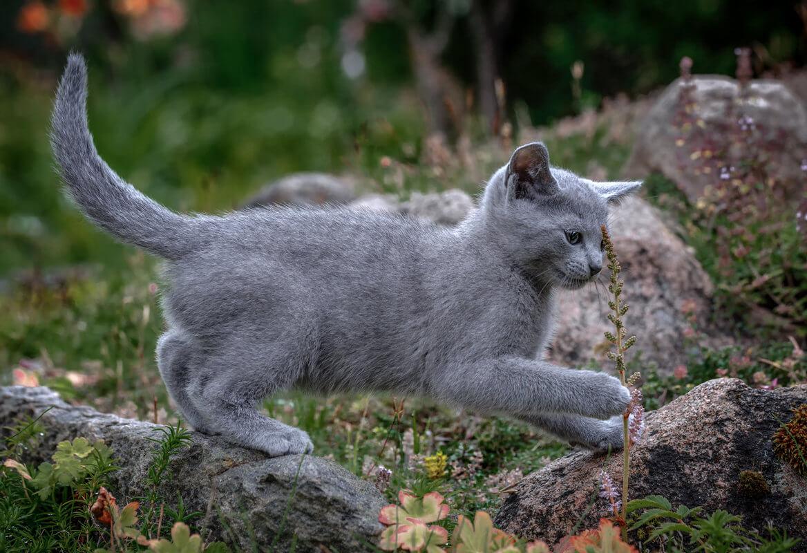 Описание породы кошек русская голубая