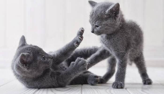 Кошки породы русское характер thumbnail